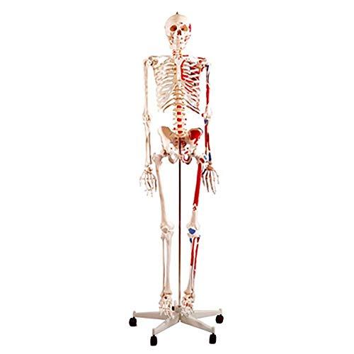 Menschliches anatomisches Modell 180 cm menschliche Anatomie Skelett Modell bemalt und nummeriert Muskelansatz und Herkunft Punkte Bandscheibenvorfalls for Ärzte Studenten Menschliches Torso-Modell