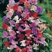 La vente de Hot 10 graines / Sac Sweet Pea (Lathyrus odoratus) Graine Belle Fleur Bonsai Plante jardin