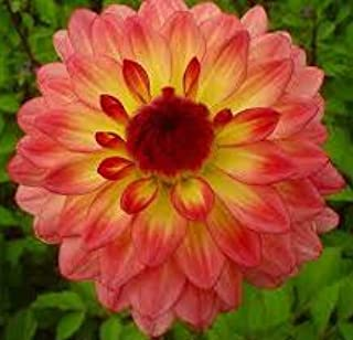 Dahlia Lake Tahoe Bulb, Plant, Flower, SeedsBulbsPlants&More