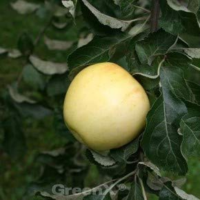 Apfelbaum Zitronenapfel 60-80cm - knackig und feinwürzig