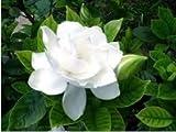 SAGEAWAY Semillas Gardenia Jazmín Flor Blanca