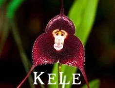 Nouvelles Graines fraîches! 100 graines d'orchidées, de belles orchidées visage de singe graines, variétés multiples Bonsai graines Livraison gratuite