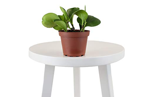 Leaf & Linen | Collector's Edition Baby Rubber Peperomia Obtusifolia, Shiny Spoon-Shaped Cupped Leaves Indoor Houseplant,