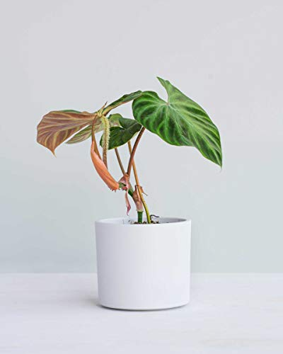 Philodendron Verrucosum M (M)