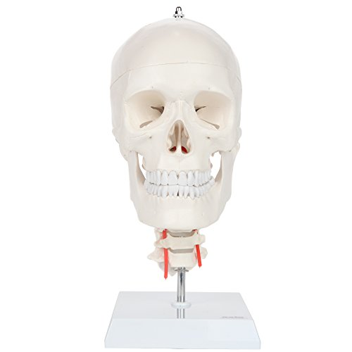 Axis Scientific 3-Part Human Skull Model with Flexible Neck | Life Size Plastic Skull on a Flexible Cervical Spine Molded from a Real Human Skull | 3 Year Warranty