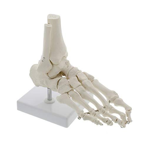 TKer Menschliches Fußgelenkmodell, Skeleton Bones Modell, für die medizinische Ausbildung Ausbildungshilfe Laborbedarf