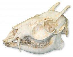 Best tufted deer skull Reviews