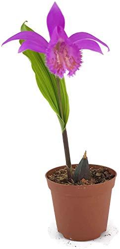 Fangblatt - Pleione Tongariro - Tibetorchidee mit intensiven pinkfarbenen Blüte - kleine Erdorchidee für den Garten oder Balkon