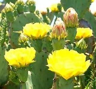 OPUNTIA STRICTA 0j0 erect prickly pear nopal edible cactus nopalea seed 20 SEEDS