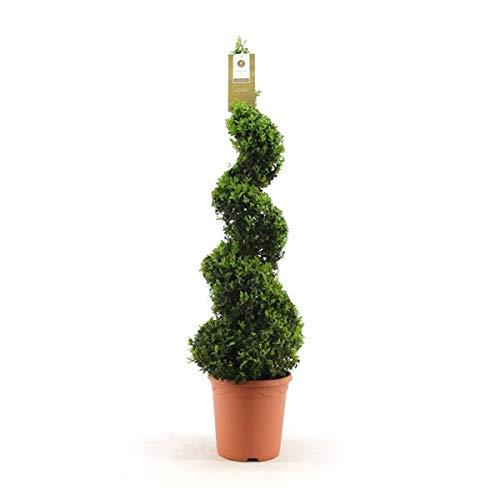 Buchsbaum-Spirale 170 cm Buxus sempervirens verschiedene Größen