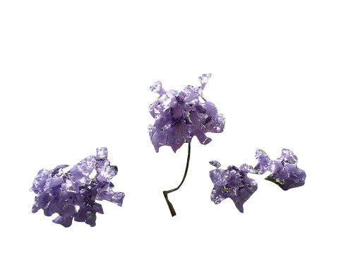 50 Samen Palisander Baum -Jacaranda mimosifolia- Bonsai Geeignet