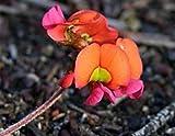 SANHOC Samen-Paket: Chorizema dicksonii Yellow-Eyed Pea Flamme 10 Samen