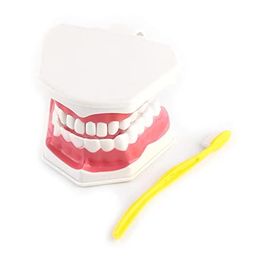 Modelo de enseñanza dental para niños, fácil de limpiar y empaquetar, modelo de demostración dental, peso ligero para enseñanza dental o cuidado bucal