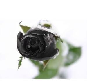 Promotion! 100pcs New Black Rose Graines chinoise Rose Fleur Graines pots planteurs Bonsai bricolage Home Gardening Goutte