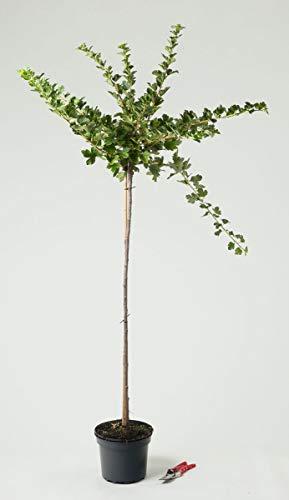 Stachelbeere Hinnonmäki rot - Ribes uva-crispa Hinnonmäki rot 80-90 cm hoch Hochstamm - Garten von Ehren