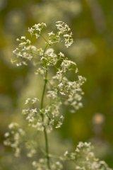 Just Seed Britische Wildblume Heckenschere echtes Labkraut, Galium Album 3000 Samen