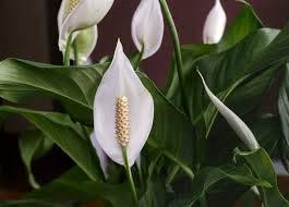 Vistaric 100 Stücke Spathiphyllum Samen Topf Samen Blumensamen Bonsai Pflanze Mischfarben Keimrate 95% Wachsen Samen * Strahlung Absorption