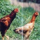 国産 茨城県産 地鶏 奥久慈しゃも 1羽 丸鶏 中抜き 2kg 冷蔵品