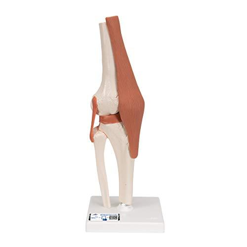 3B Scientific Menschliche Anatomie - Kniegelenk-Funktionsmodell + kostenloser Anatomiesoftware - 3B Smart Anatomy