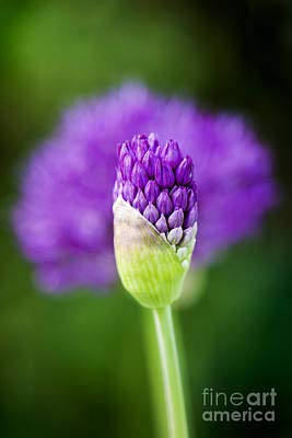 AZSTEEL Allium Hollandicum Purple Sensation Poster - Prefect Gift for Family, Friends to Decorate Your Home. It Can Express The Taste and Mind Mind of The Giver. Poster No Frame Board 11.7
