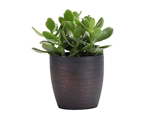 Thorsen's Greenhouse Jade Plant, Live Indoor Plant, Lucky Plant, 8 Inches,...