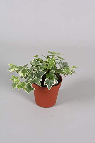 Efeu (Hedera helix), echte Pflanze, als Hängepflanze, Bodendecker oder Zimmerpflanze, pflegeleicht (im 9cm Topf, Sorte: White Wonder, zweifarbig, grün-weiss)