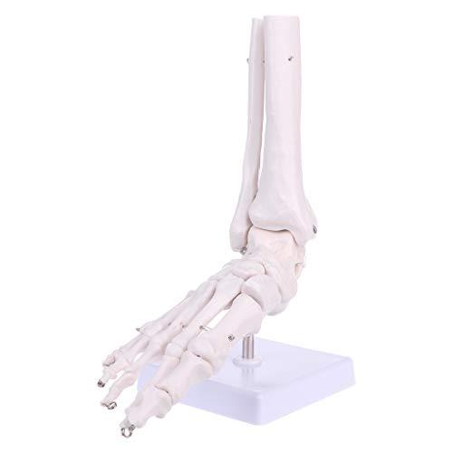 luosh Pie Articulación del Tobillo Esqueleto anatómico Modelo Aprendizaje Recursos educativos Pantalla...