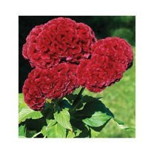 30 + GRAINES DE FLEURS burgandy « Cramers de Celosía, cockscomb, HEIRLOOM, CUT DURABLES/SEC