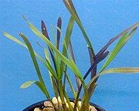 25 Filterpflanzen im Sortiment Teichpflanzen Teichpflanze Filterpflanzen - 4