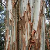 Eucalyptus Bleu Graines de gommier (Eucalyptus globulus) 100 + Graines (100+)