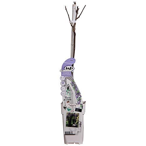 Wunderschöne Kletterplanze - Chinesischer Blauregen - Wisteria sinensis CAROLINE 50-70cm Topf 2 Ltr.