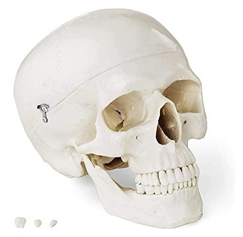 JKFZD Modelo de cráneo anatómico Realista Modelo 3D Altamente detallado de plástico Especial, para Medicina y educación Blanca