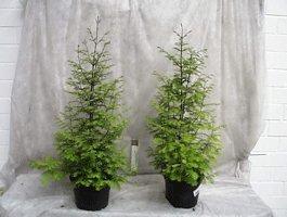 Mammutbaum, Höhe: 110-120 cm, Metasequoia, Pflanze + Dünger