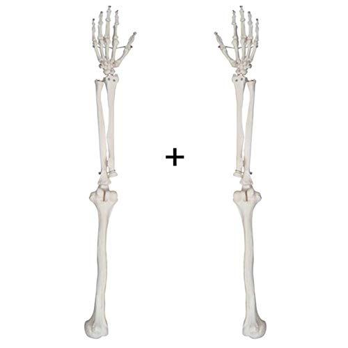 Huili Skelett Anatomisches Modell - 1: 1 Life Size obere Extremität Knochen Anatomisches Modell Mensch - PVC-Material Armskelett Modellstruktur Anatomy - für Medizinische Ausbildung Ausbildungshilfe