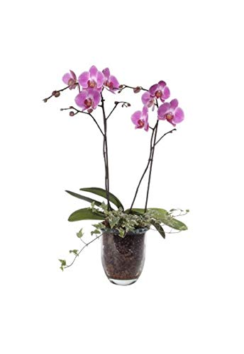 Stk - 1x Phalaenopsis Hybride Glasvase Orchidee Zimmer Pflanze OW233 - Seeds Plants Shop Samenbank Pfullingen Patrik Ipsa