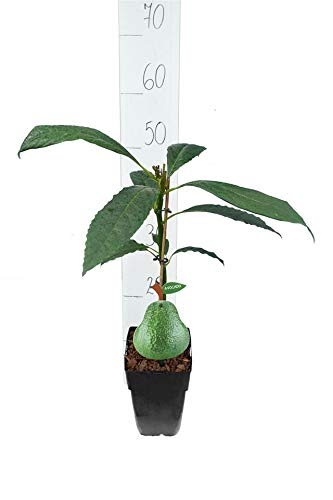 Avocado Pflanze - Persea americana Hass - 50-70 cm - Topf 11x11 cm