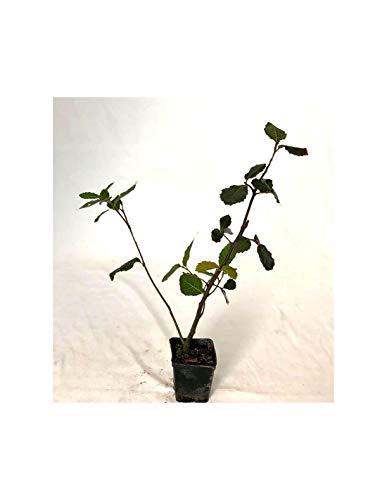 Albero Quercia Ilex Vaso 7cm,Altezza 10/15cm