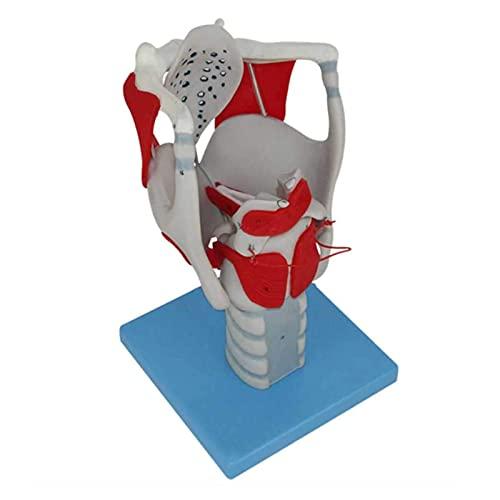 XYXZ Modelo De Anatomía Modelo De Anatomía Laríngea Ciencia Anatomía Humana Ampliación 3X Modelo De Estructura Y Función Laríngea, Para Herramienta De Ayuda Para La Formación Educativa Médic