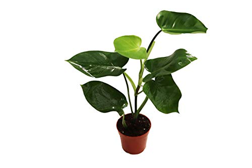 """Philodendron Burle Marx Live Plant – 4"""" from California Tropicals"""