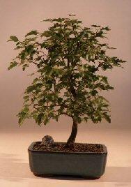 Bonsaiboy Trident Maple Bonsai Tree Acer Buergerianum by Bonsai Boy