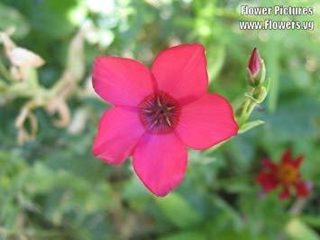 VISTARIC Seedville 1500 Dames Rocket (Danask Violet) Graines de fleurs julienne des dames
