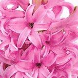 【耐寒性】【球根植物】  ヒヤシンス ピンク系 2株セット 【花壇】