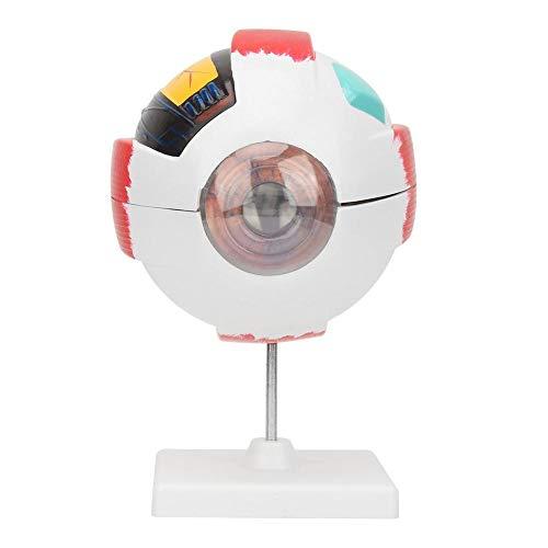 Modelo de globo ocular humano de aumento 6X, La parte anatómica del modelo de ojo humano incluye córnea, lente de iris y vítreo, Modelo de ojos para la enseñanza de biología en el aula de ciencias