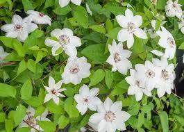 Clematis, clématite Fleurs, Creeper Escalade Clematis planter des graines - 100 pcs graines / sac