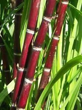 200 graines de canne à sucre