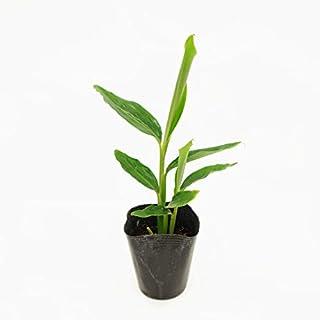 (株)赤塚植物園 ④ シェルジンジャー の苗 ゴキブリ除け! 耐寒性ジンジャー 月桃