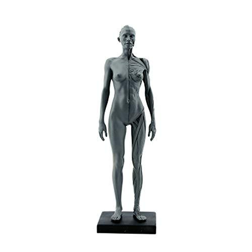 DTTKKUE 11-Zoll-Menschliches Anatomisches Anatomie Schädel Blut Skulptur Kopf-Körper-Modell Muskel-Knochen-Studie Modell Männliche Und Weibliche, Anatomisches Referenz Für Künstler,Grau,Female