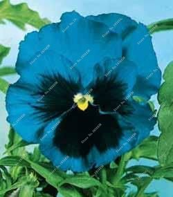 100 Pcs exotiques Seed Pansy Graines Mix Couleur onduleux Viola Tricolor Graines de fleurs d'intérieur Bonsai Bricolage Potted Maison et jardin 21