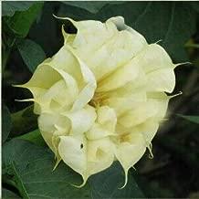 3: Semillas Black Datura, Brugmansia Angel Trumpets, Bonsai Tree Flower Seeds 100 Particles/Lot