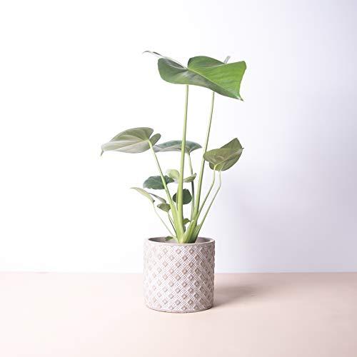 Planta natural Monstera deliciosa a domicilio - Costilla de Adán - Envío gratuito - Altura 50cm Diámetro 12cm - Plantas decorativas - Exterior e interior - (3. Macetero cuadros)